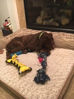 Fergus+on+dog+bed+with+toys.jpg