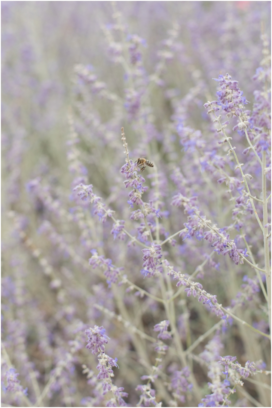 fitzpatrick winery lavender_1478.jpg