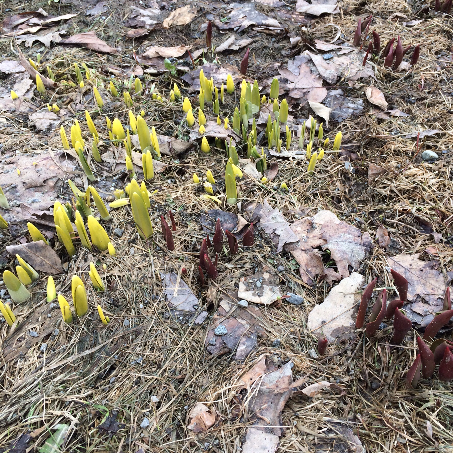 Previous owners planted tulips and daffodils. While we didn't live here last spring, we were here constantly working on renovations so I know these will all come up bright, cheery yellow. Can't wait!