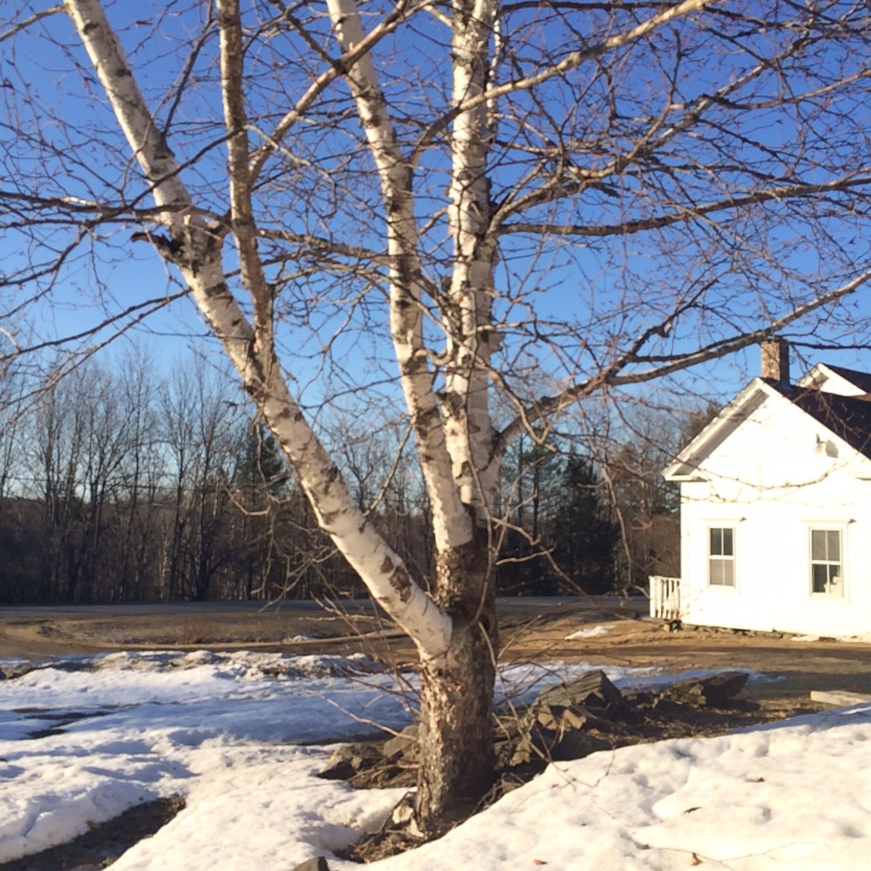 Dooryard birch.