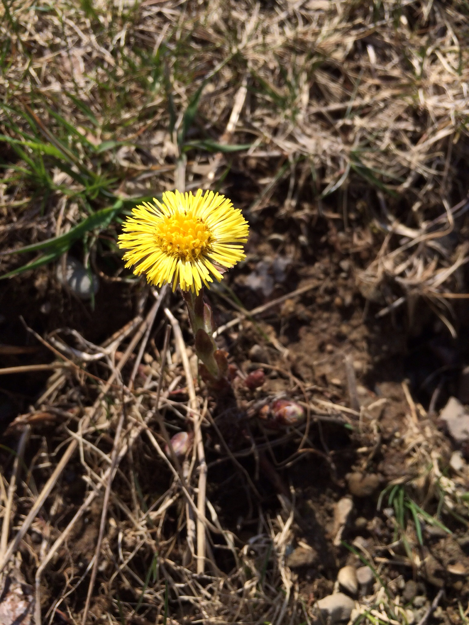 Coltsfoot, sending up its happy yellow flowers.