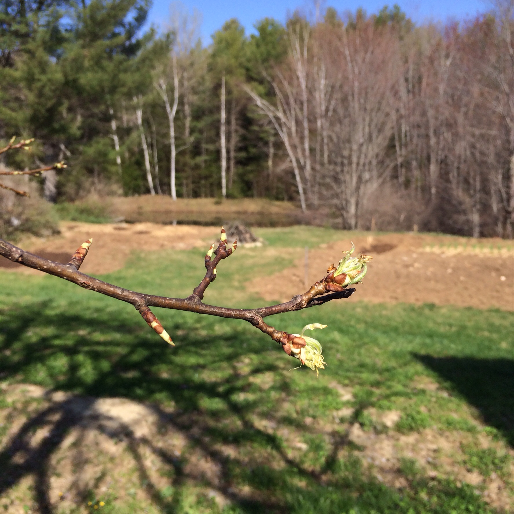 The pear tree is budding.
