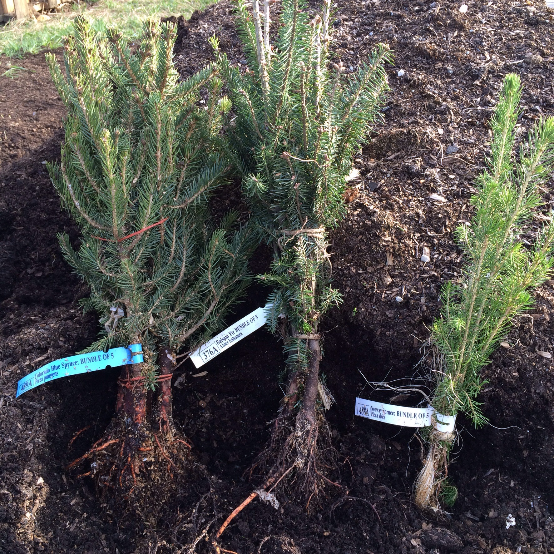 When these baby conifers grow up I plan to make lots of use from them. I discovered the joy of eating and using spruce tips last spring and knew we had to plant more for future benefit.
