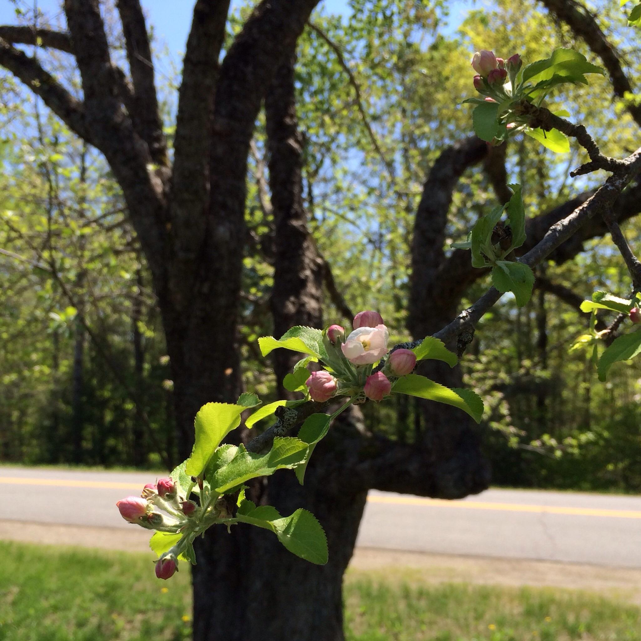 Sunday, buds on the Nodhead apple.