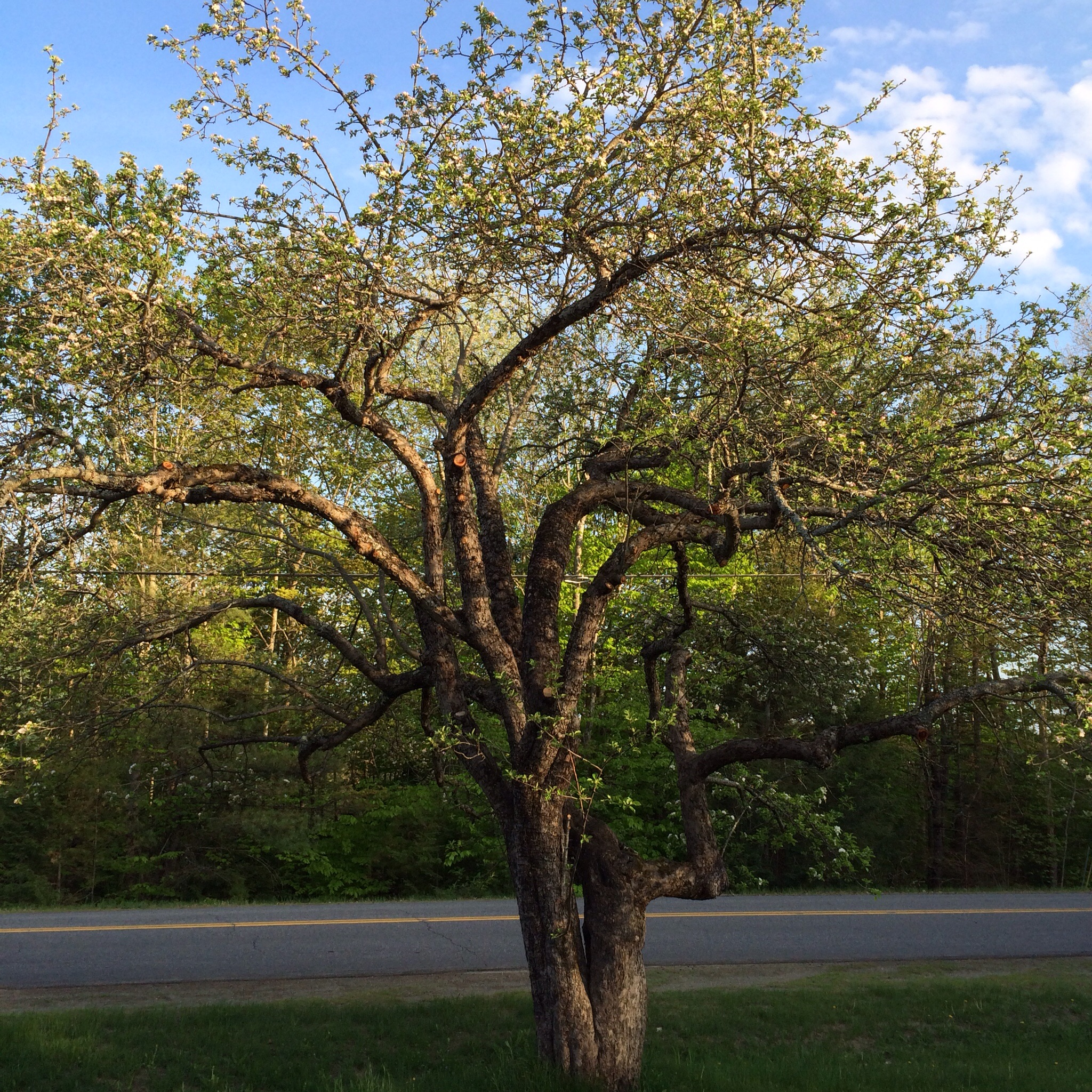 Old trees are beautiful trees. We'll be shaping/renovating the Nodhead incrementally over the next few years as it likely went unpruned for a long time.