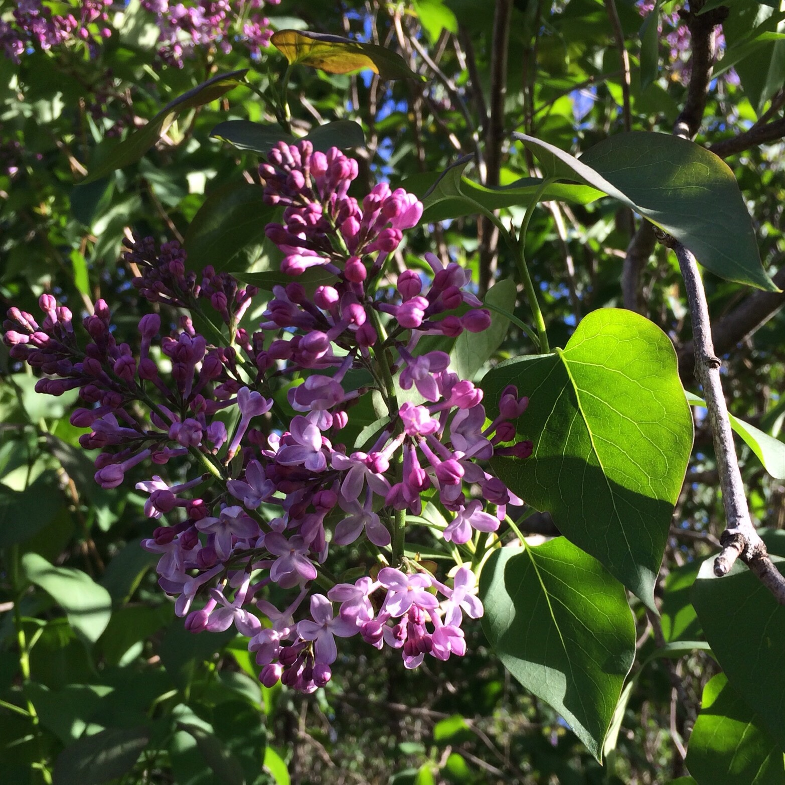 My birthday generally falls at the same time lilacs bloom in this corner of central Maine and this year was no exception.