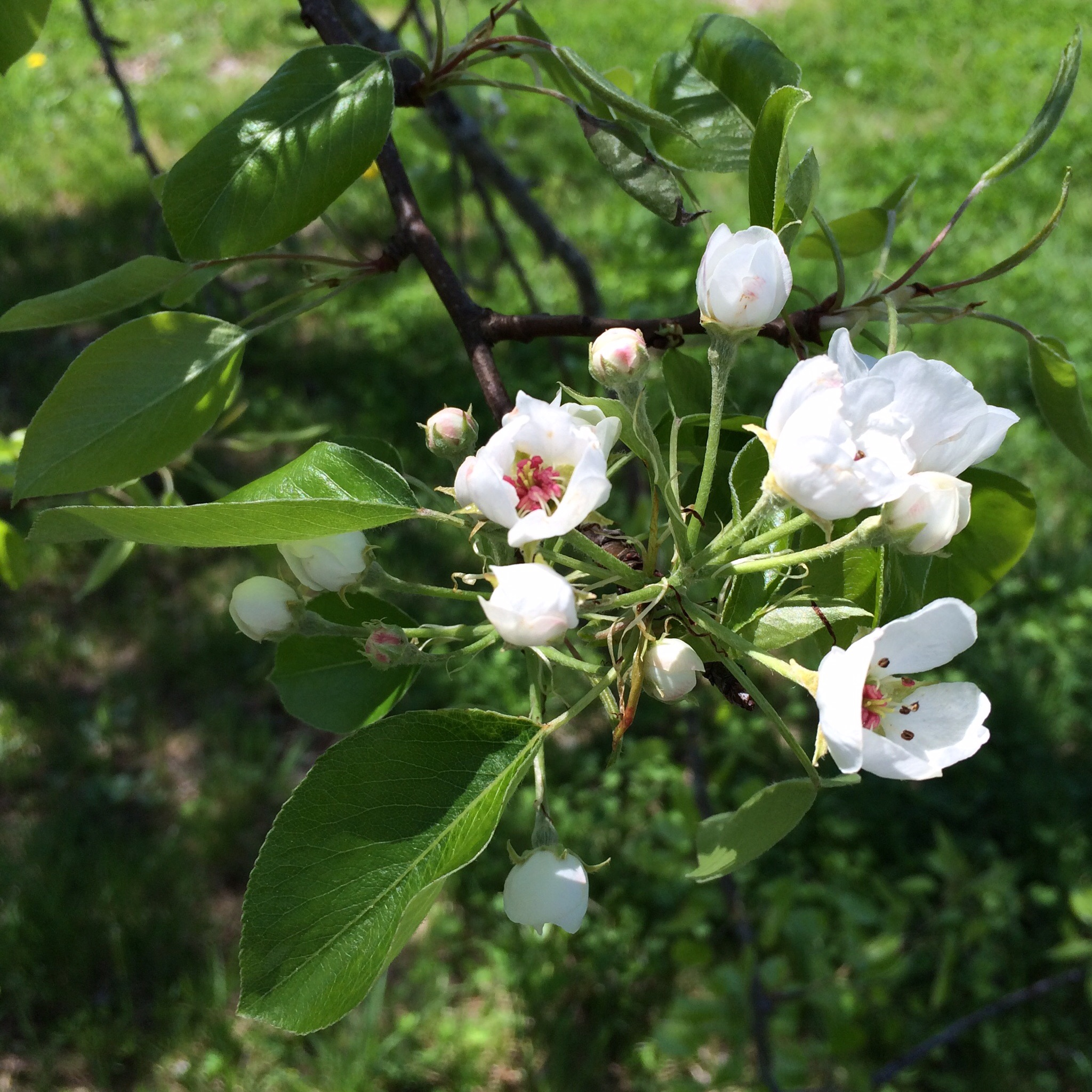 Blossoms on the pear tree beginning to open on Sunday.