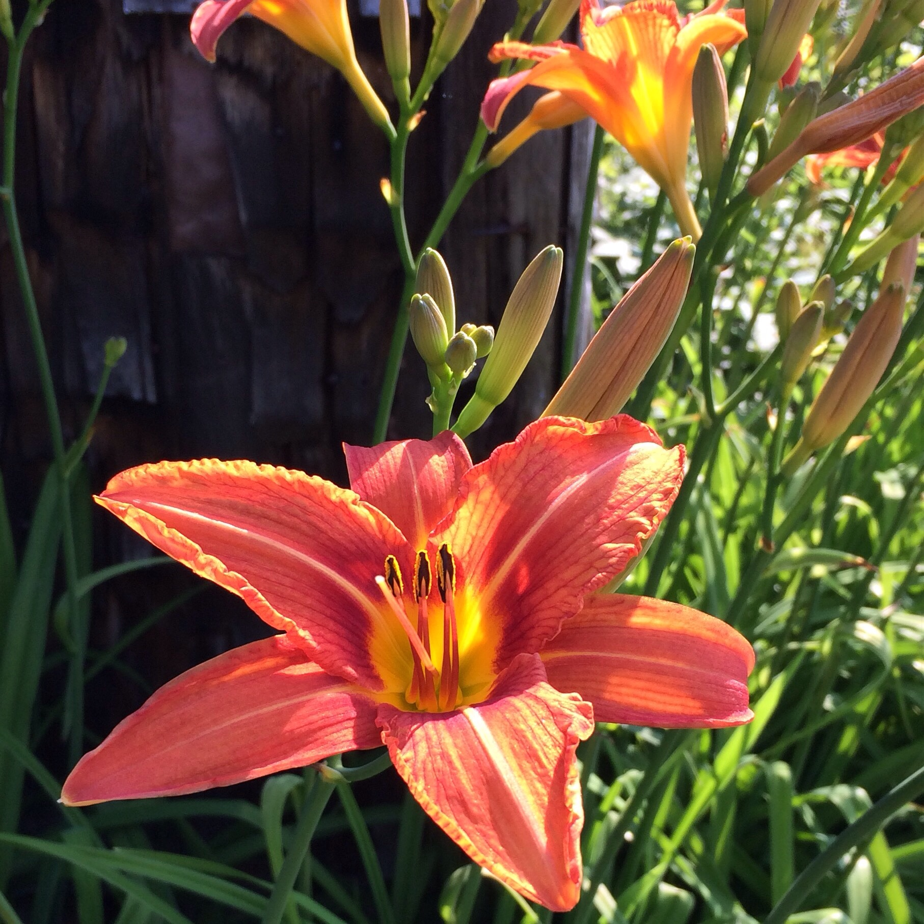 Daylilies are popping today in the sun and heat.