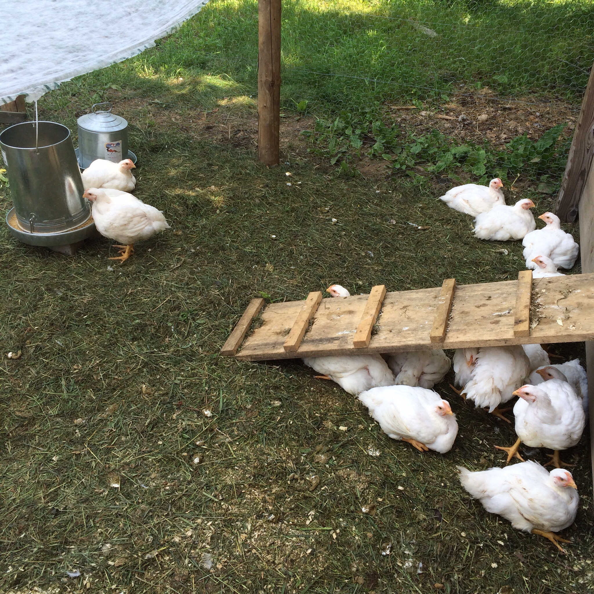 My parents raised all sorts of animals when I was little and are now just getting back into having livestock, starting with two dozen broiler chickens