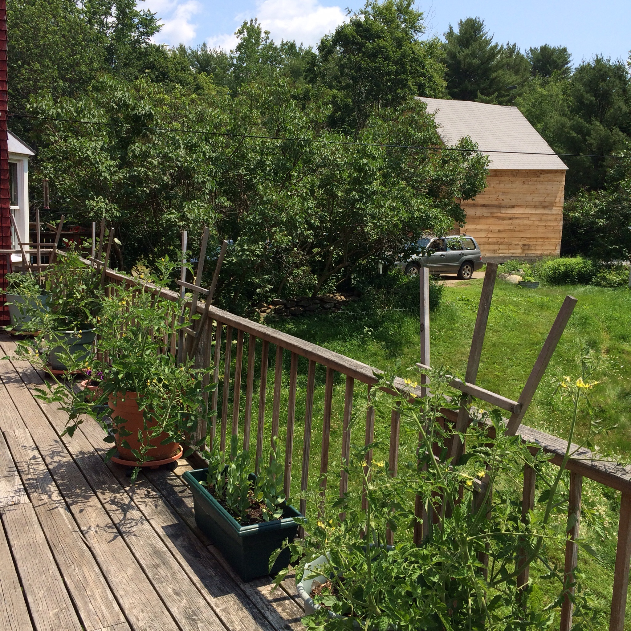 My mother's cherry tomato jungle on their deck. My parents have the greenest thumbs of anyone I know.