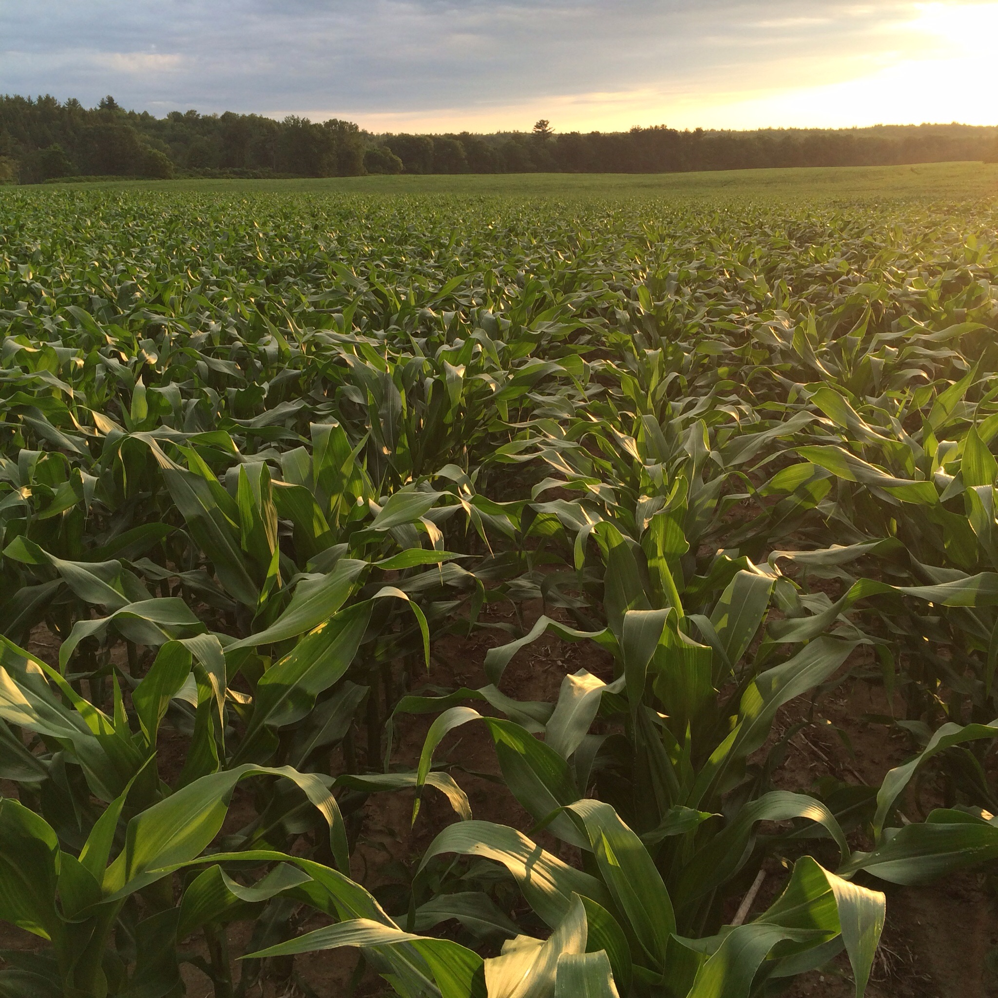 Sunset on a giant field of corn near the Kennebec.