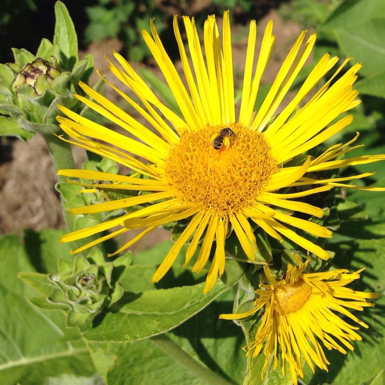 Elecampane with bee. Look at those pollen-laden jodhpurs!