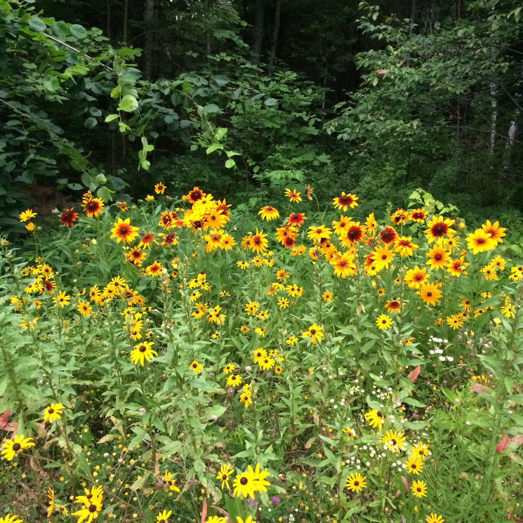 More Black-eyed Susans and pretty little sunflowers at the back of my parents' garden.