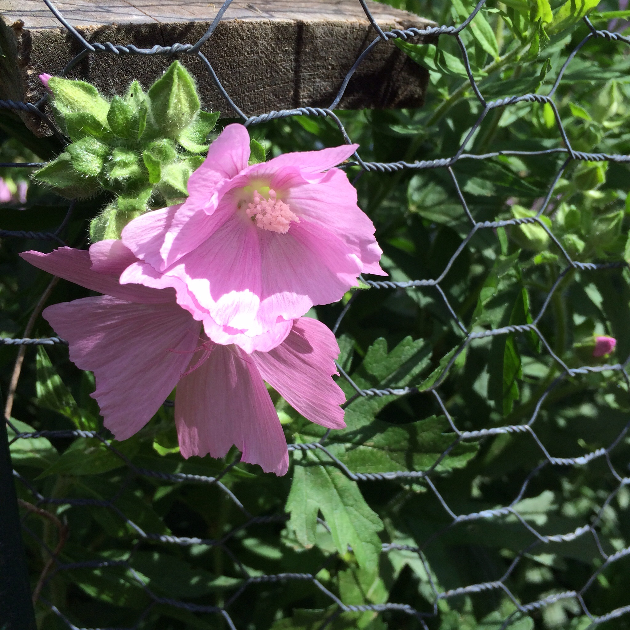More mallow thrives by the chicken run, its exuberant blossoms pushing through the fence.