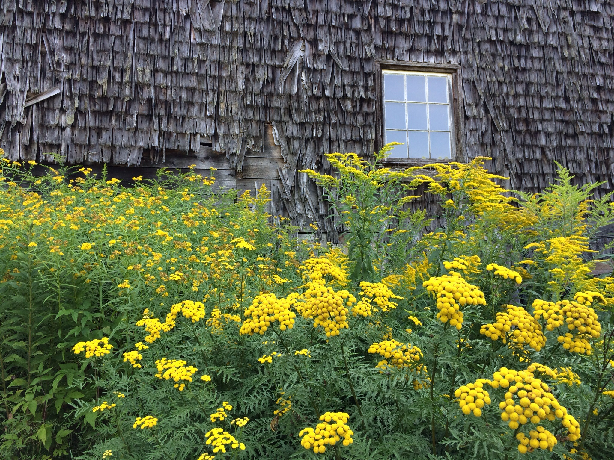 Tansy and goldenrod are the most colorful plants around the property right now.