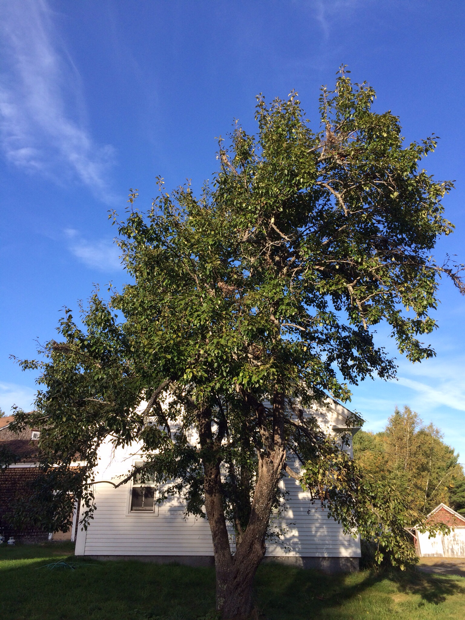 It's an enormous tree for a pear. I love how it towers over the house.