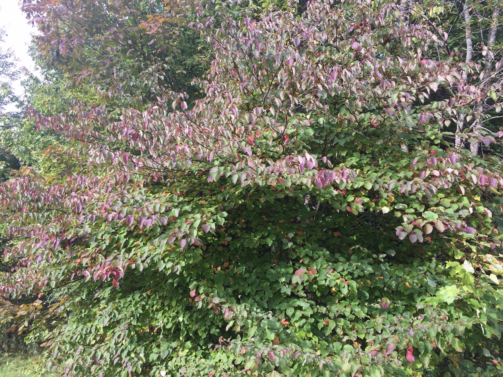 Dogwood leaves turning purple.
