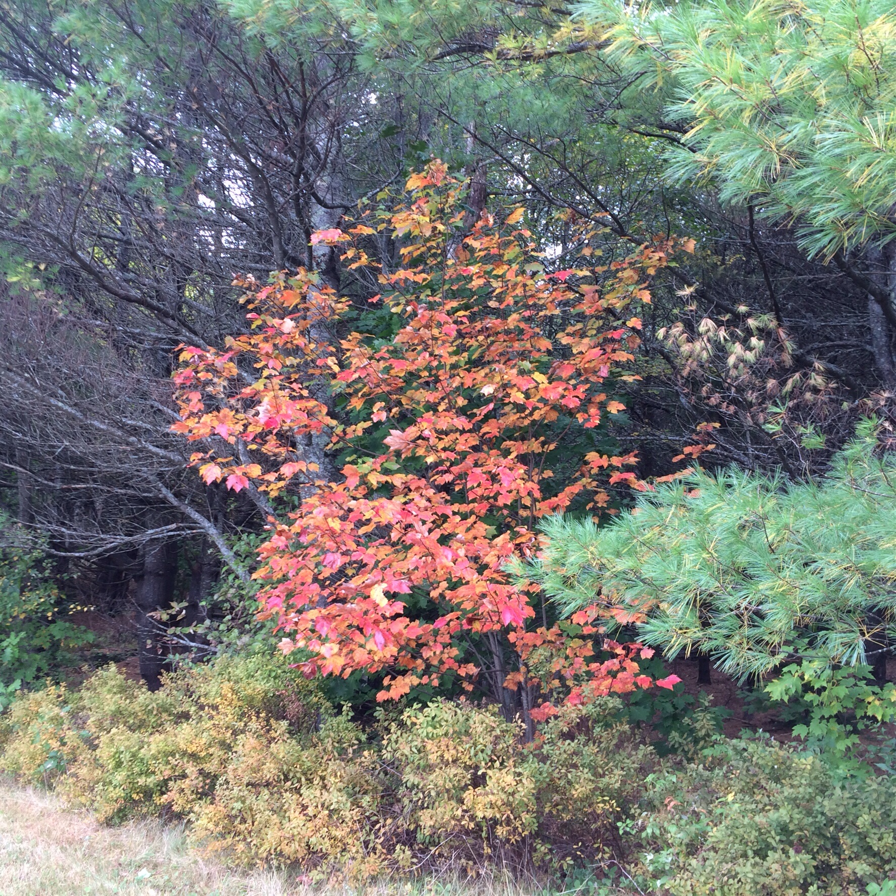 Fall color tucked into the wall of pines along the edge of our eastern field. We enter our second autumn here at Ridge Pond still astounded at the beauty of this place and our luck in getting to live here.