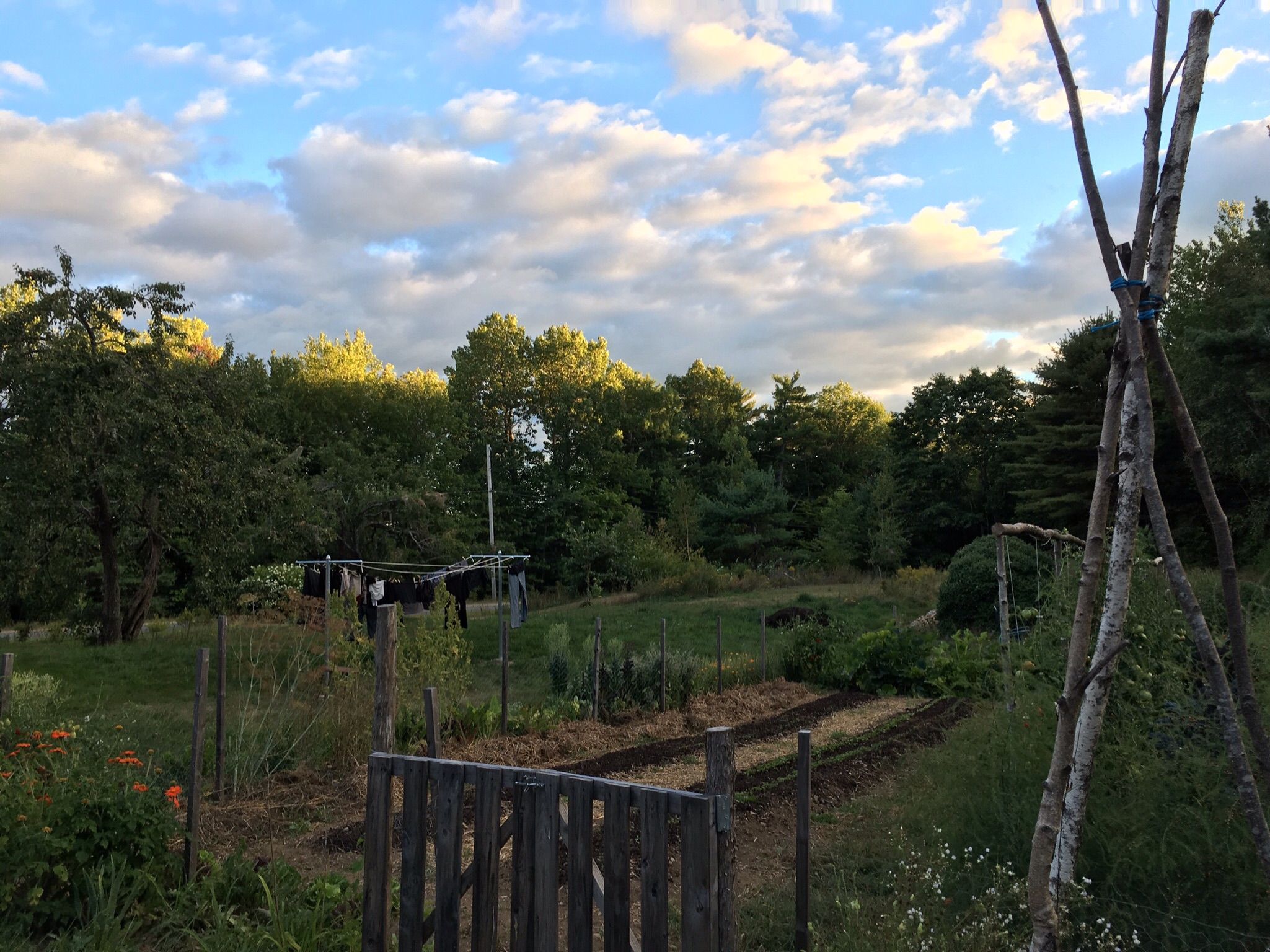 From the gate end of the garden. Mexican sunflowers (a hummingbird favorite) to the left and in the background the new clothesline Mike put up this month.