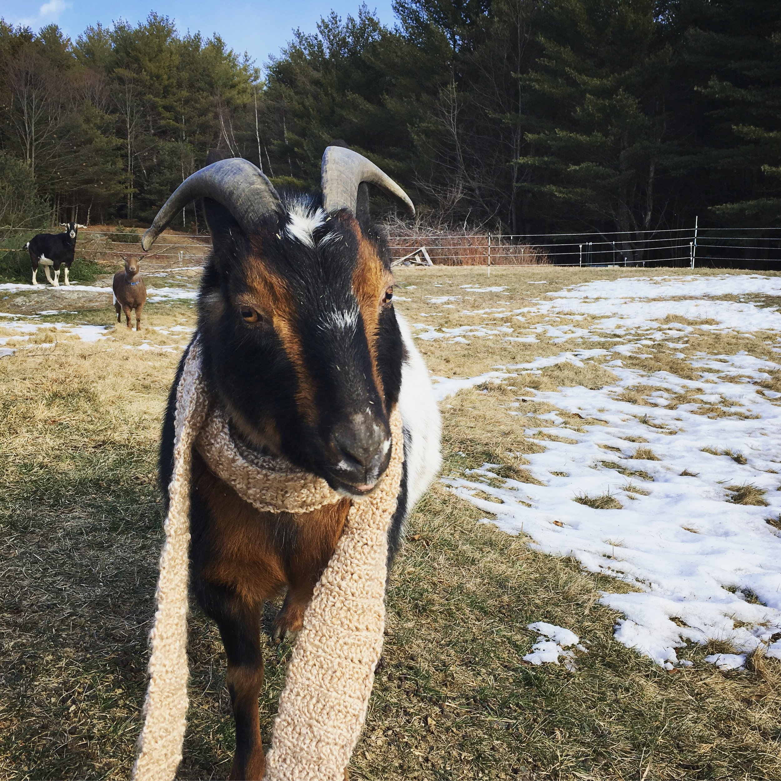 Willy is getting the hang of it, though his tongue is still sticking out a bit. But clearly the other goats are impressed with his skills.