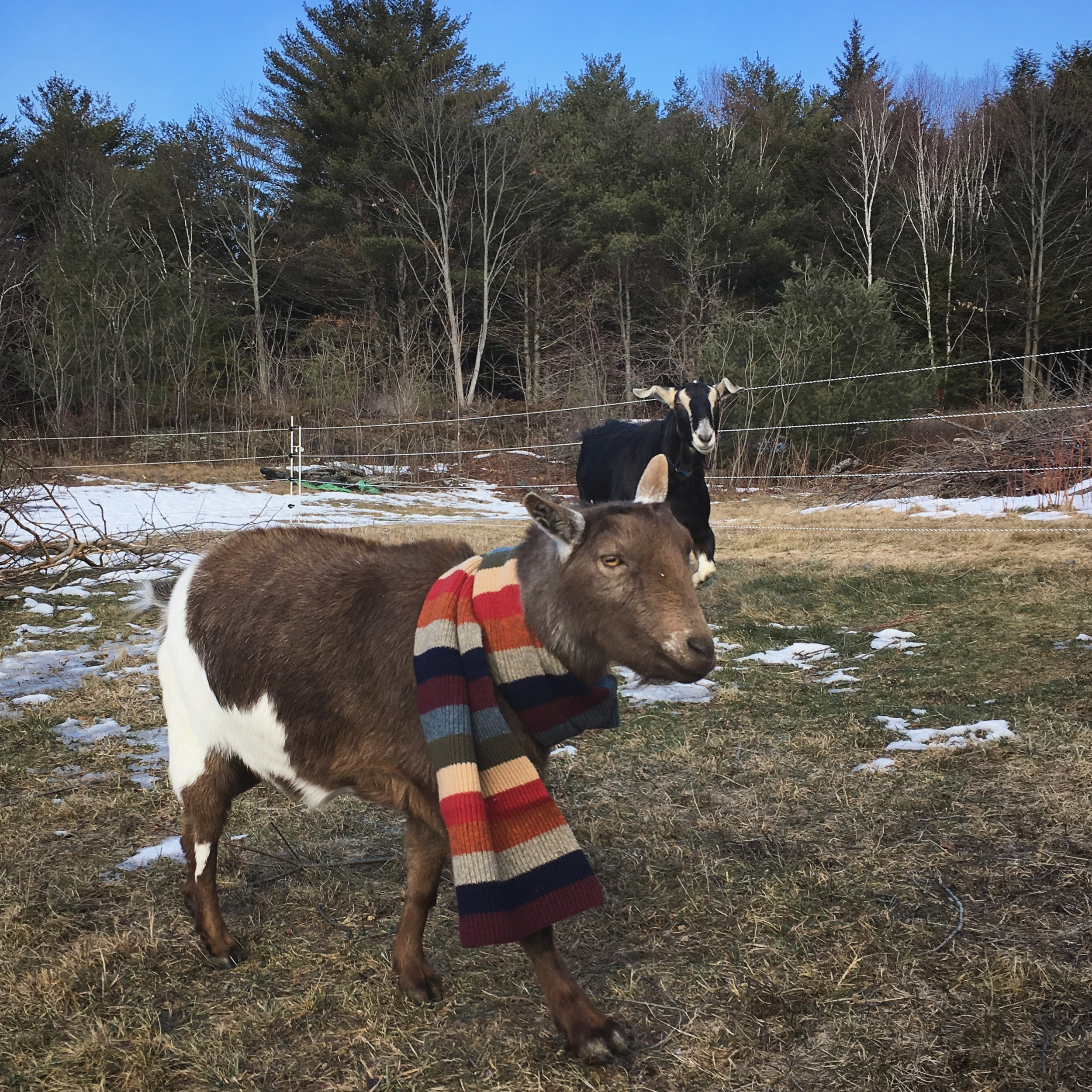 Wally practices an action shot. He's a goat on the go who still has time for fashion. Bella's getting jealous of the boys' fun.
