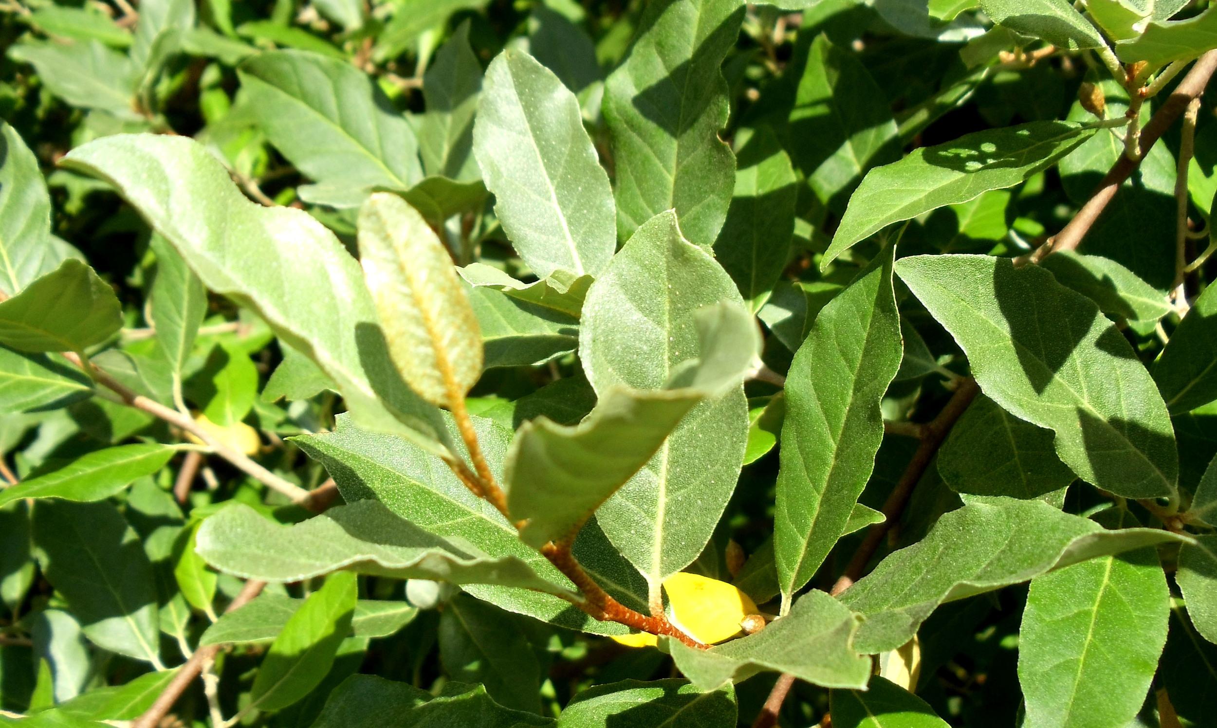 wild olive1.jpg