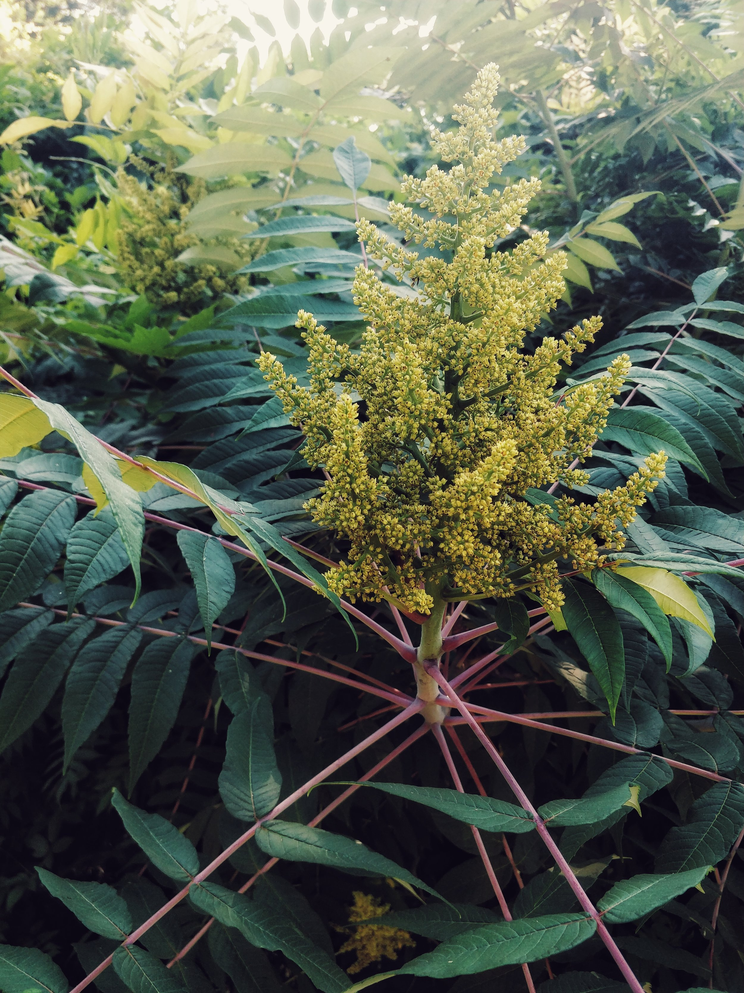 Smooth Sumac in Flower