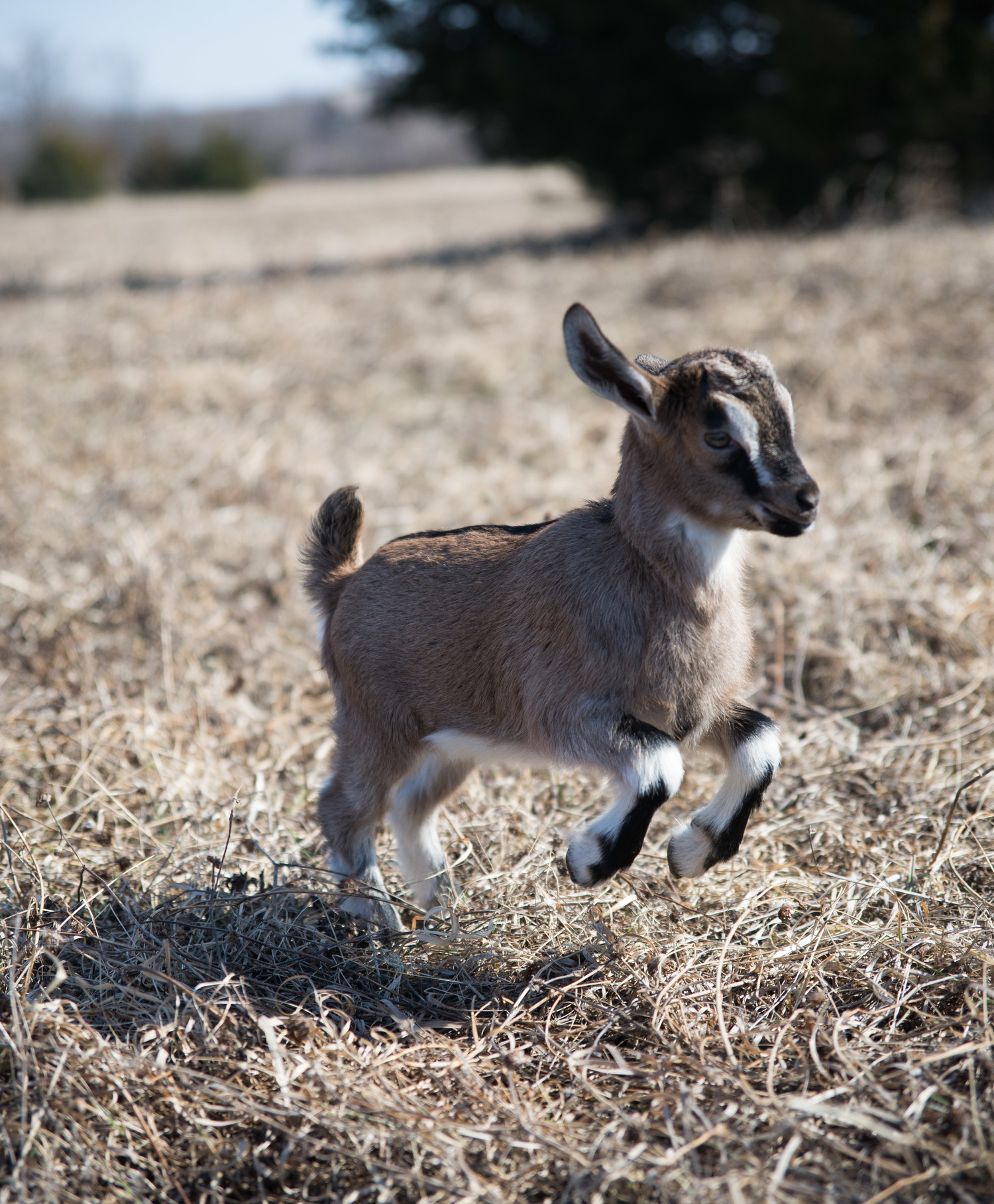 Bambi the Baby Goat