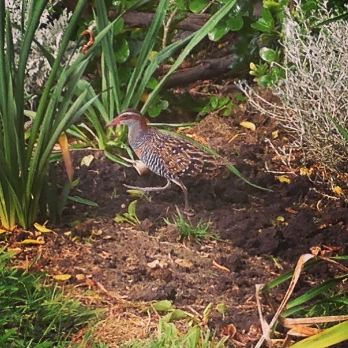 Ok, I'm no David Attenborough but, this flightless bird is on the endangered list. It is the Lewin Rail and we have a pair with chicks in our front yard / swamp at Peterborough, simply happy 🙂