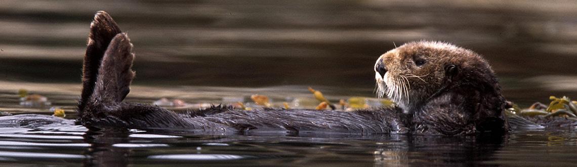 SeaOtter_Bryant Austin_Center For Biodiversity_Model4greenliving_Giving Back