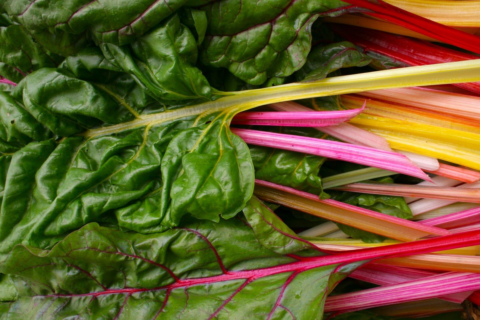 Rainbow Chard_model4greenliving
