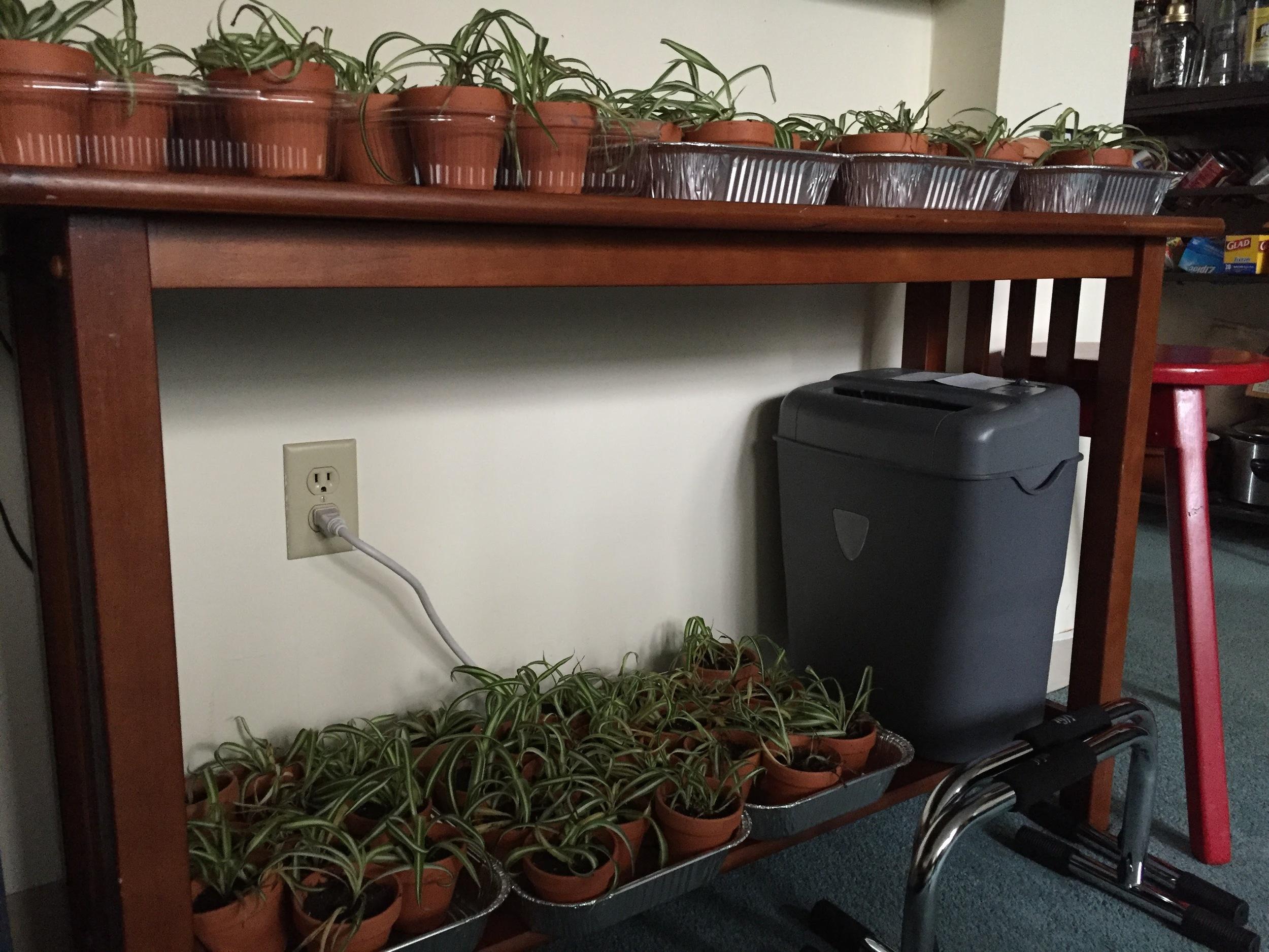 spiderplants