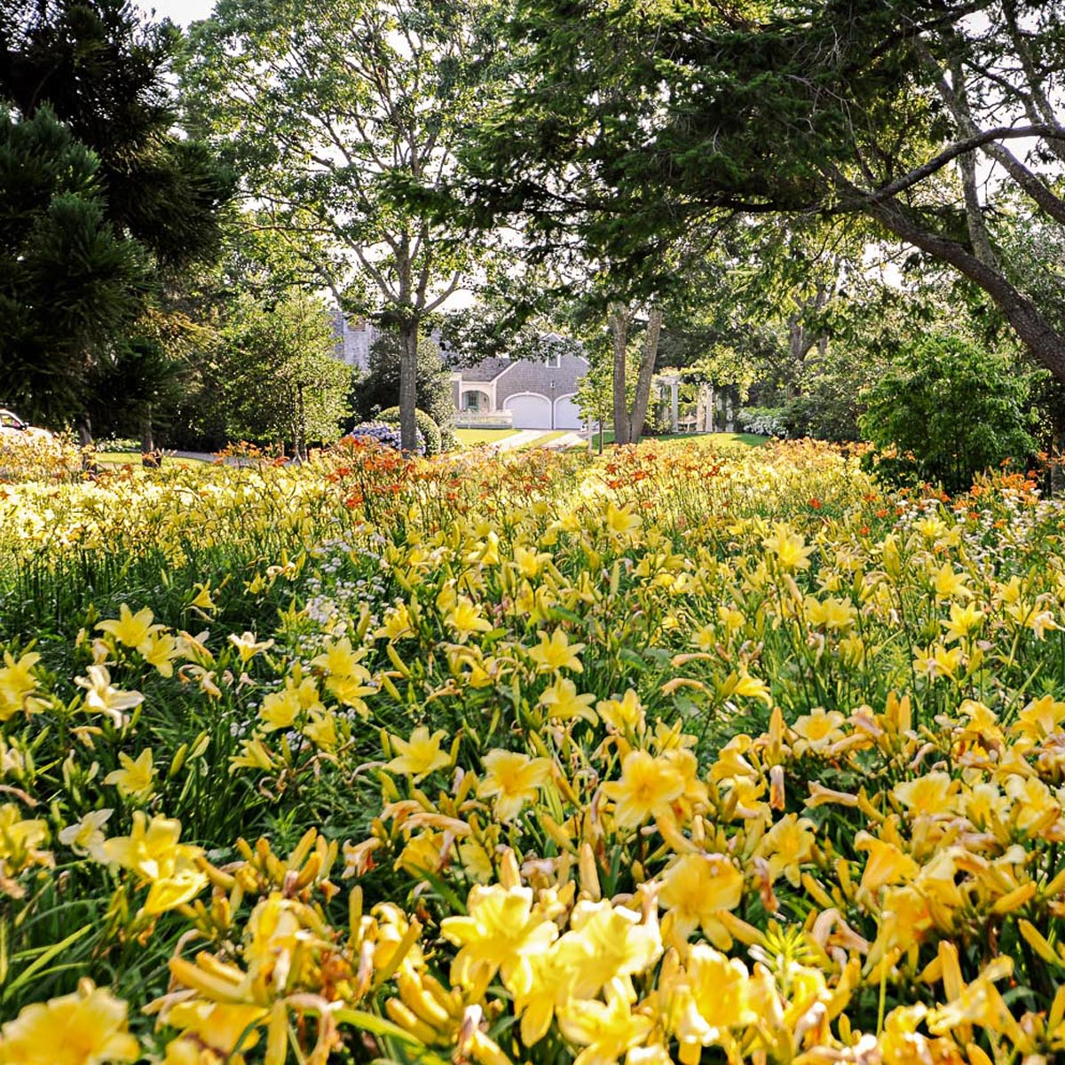 Lily Field, Chatham, MA Landscape Design