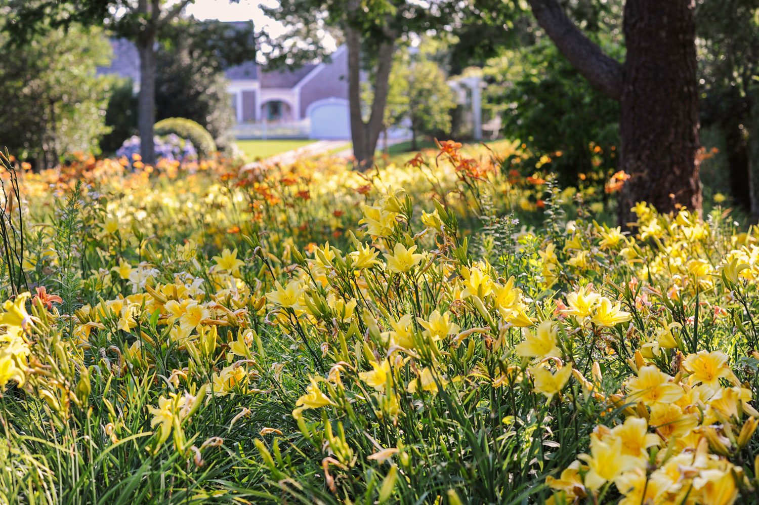 This lily field was used as part of a sustainable landscape on Cape Cod, MA