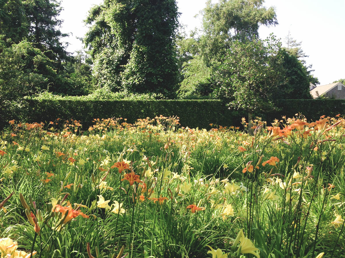 The lily field in continuous bloom from June to September