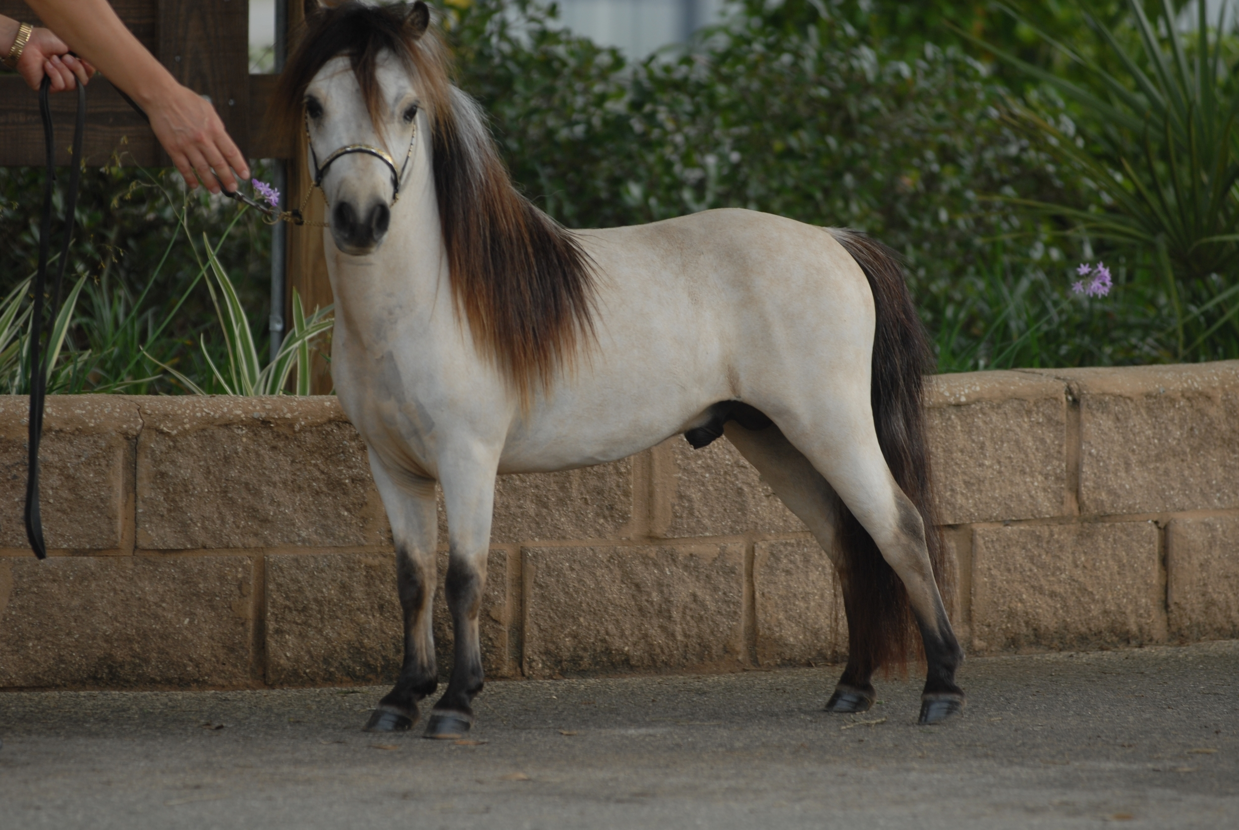 """Houdini"" 2 years old, natural look = straight from the field, only body clipped, but no make up or color enhancements used"