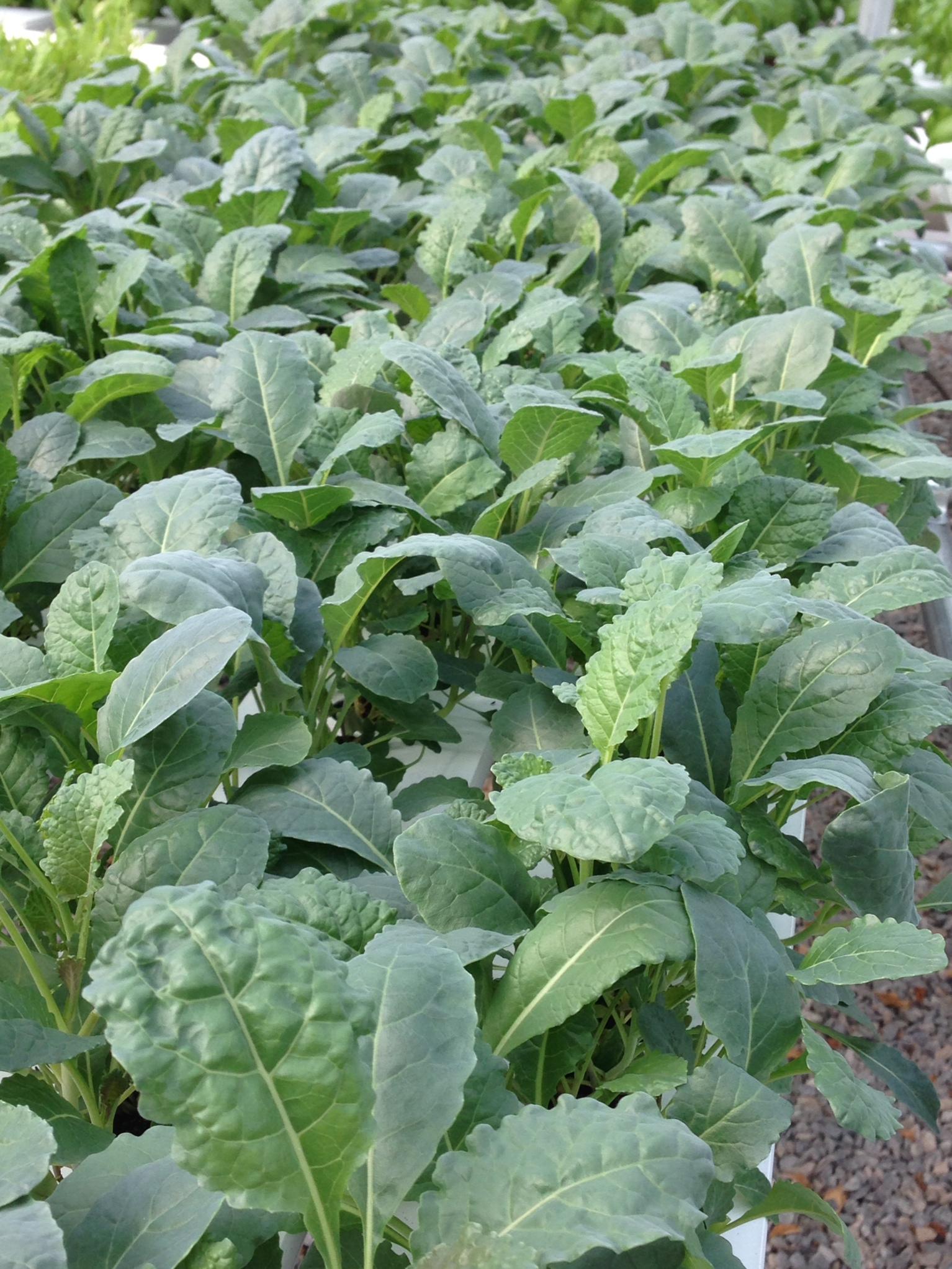 Baby Tuscan Kale