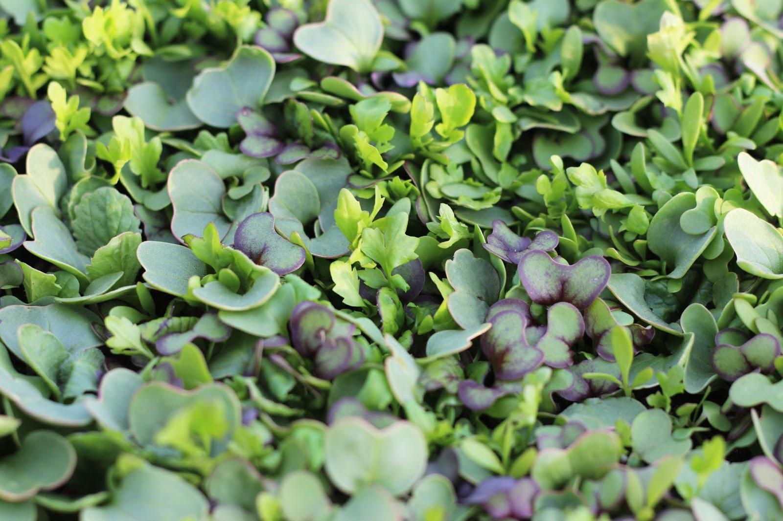 Wasabi Microgreens