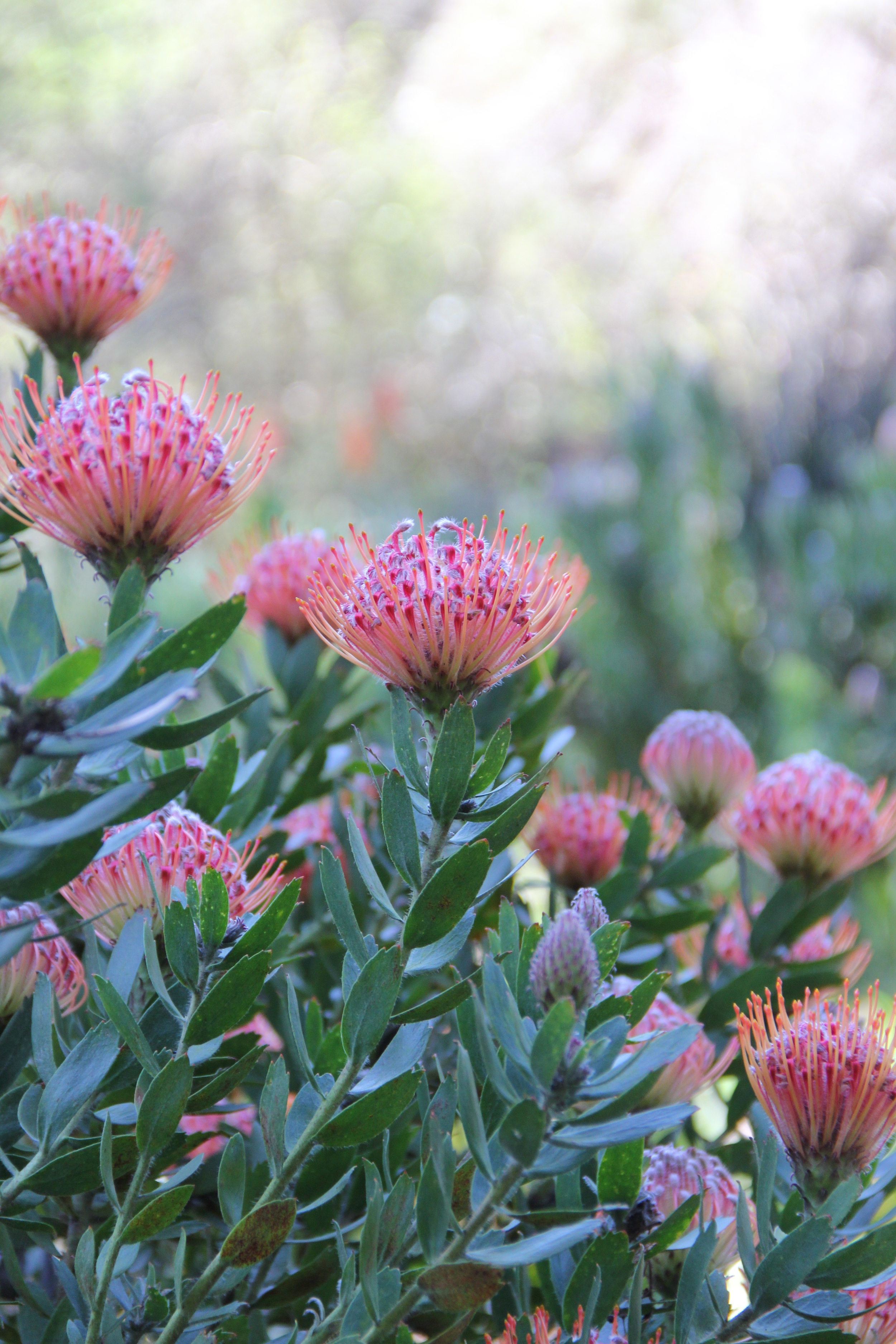 Blooming protea in the South African area