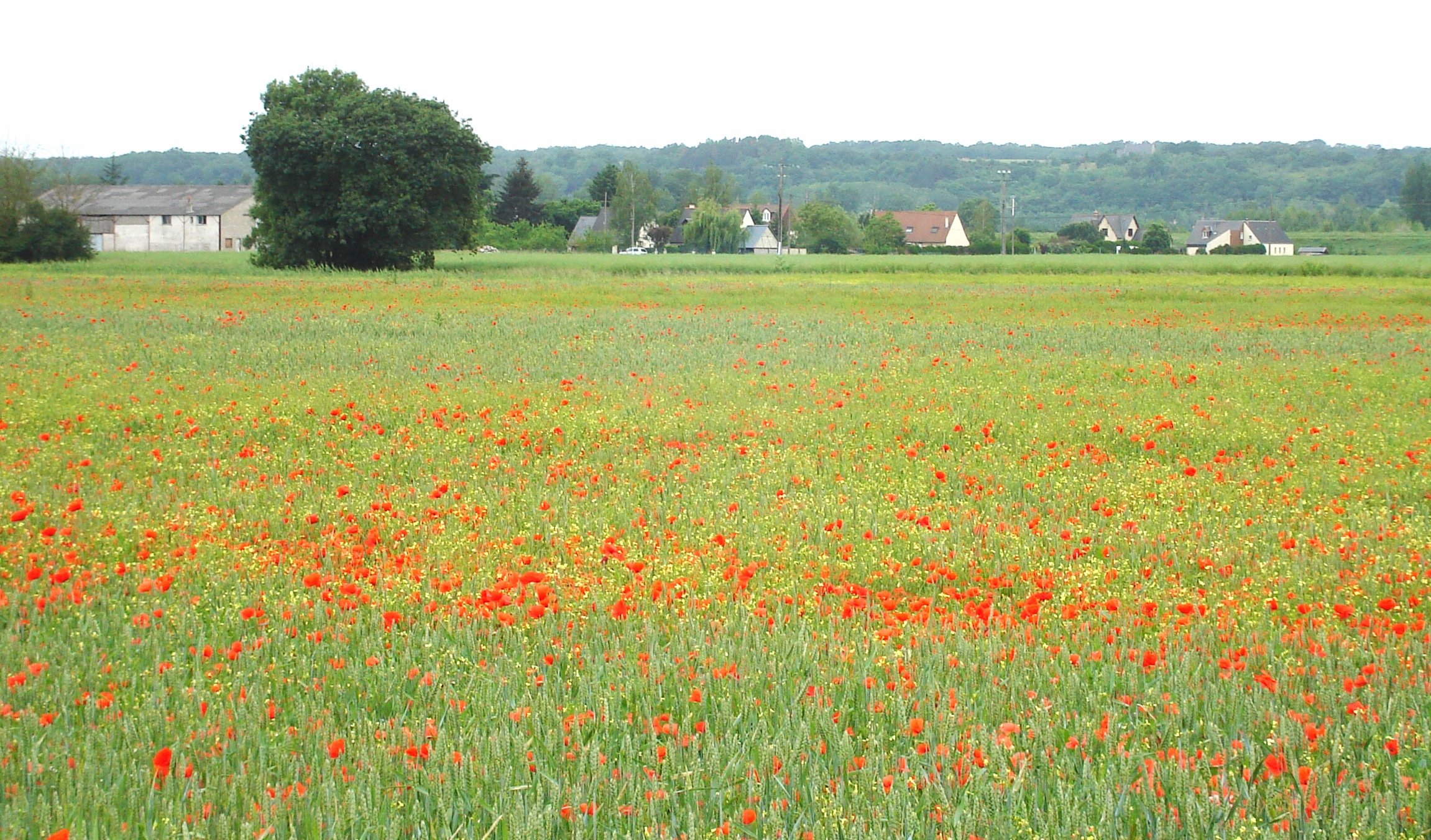 Poppies in the Loire Valley