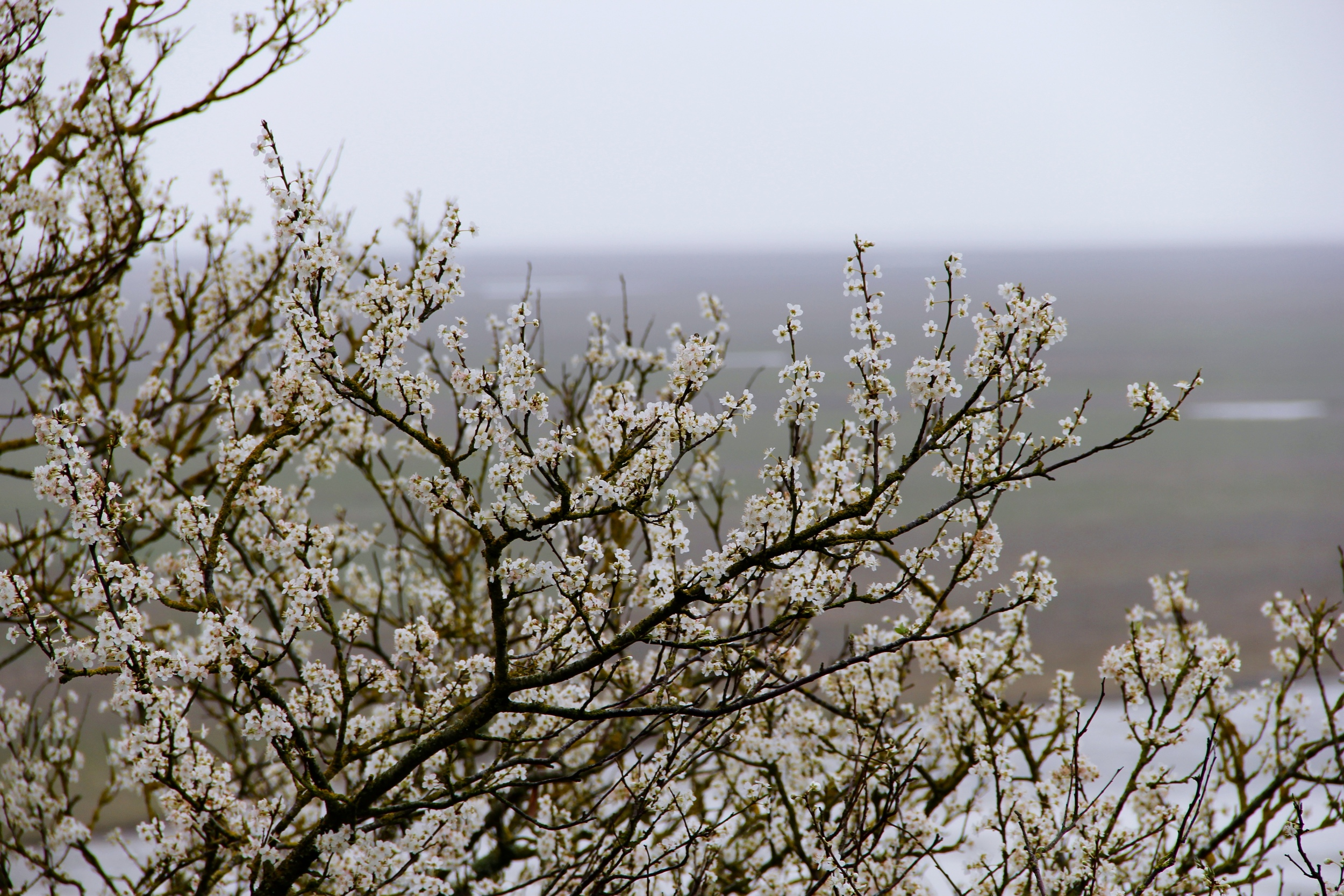 Spring flowers at Mont St Michel