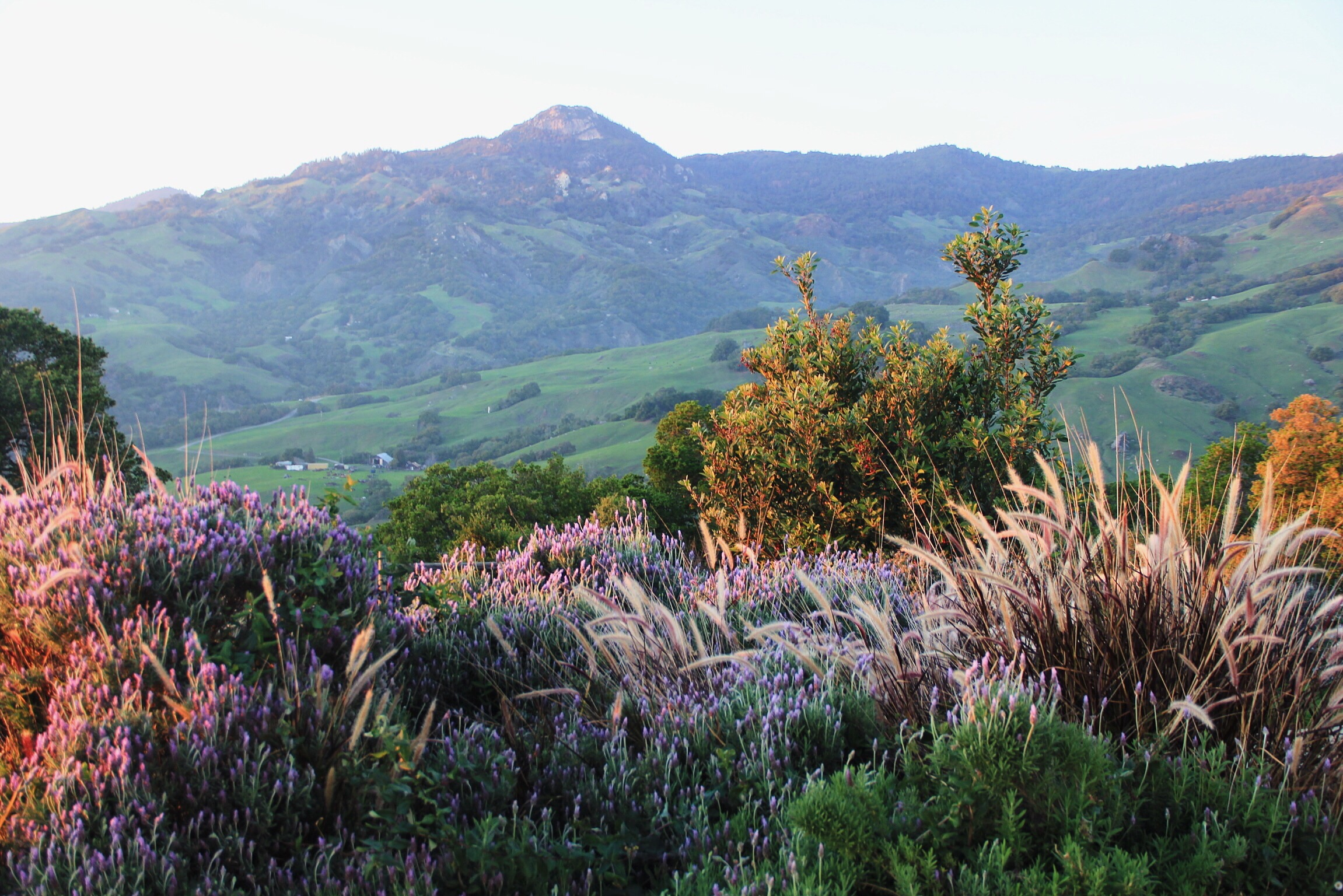 """Lavender feels at sunset in Cambria, CA from the porch of the """"Big House"""" at Stepladder Ranch"""