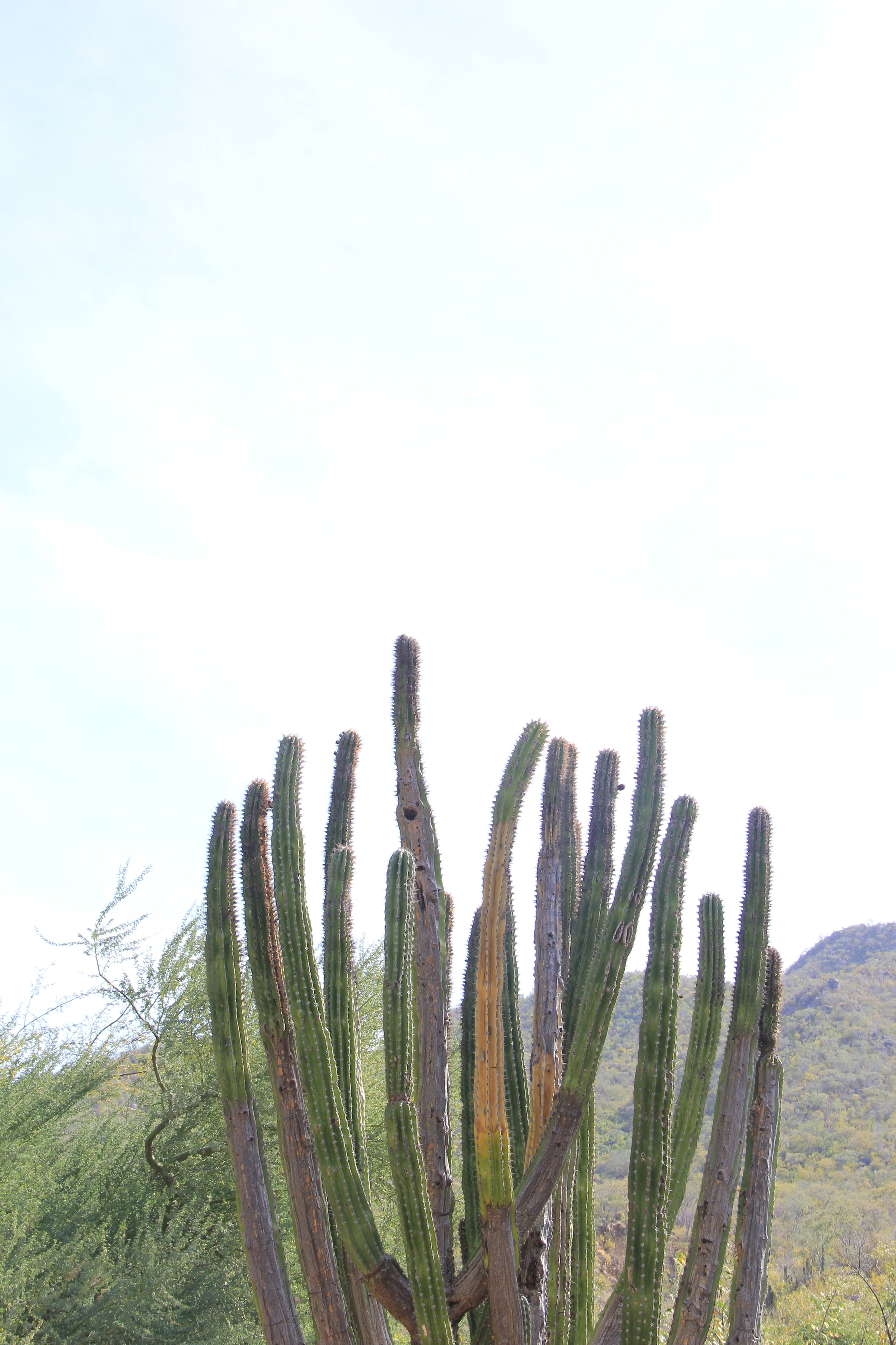 Cardon Cactus along the backroads of Baja California Sur