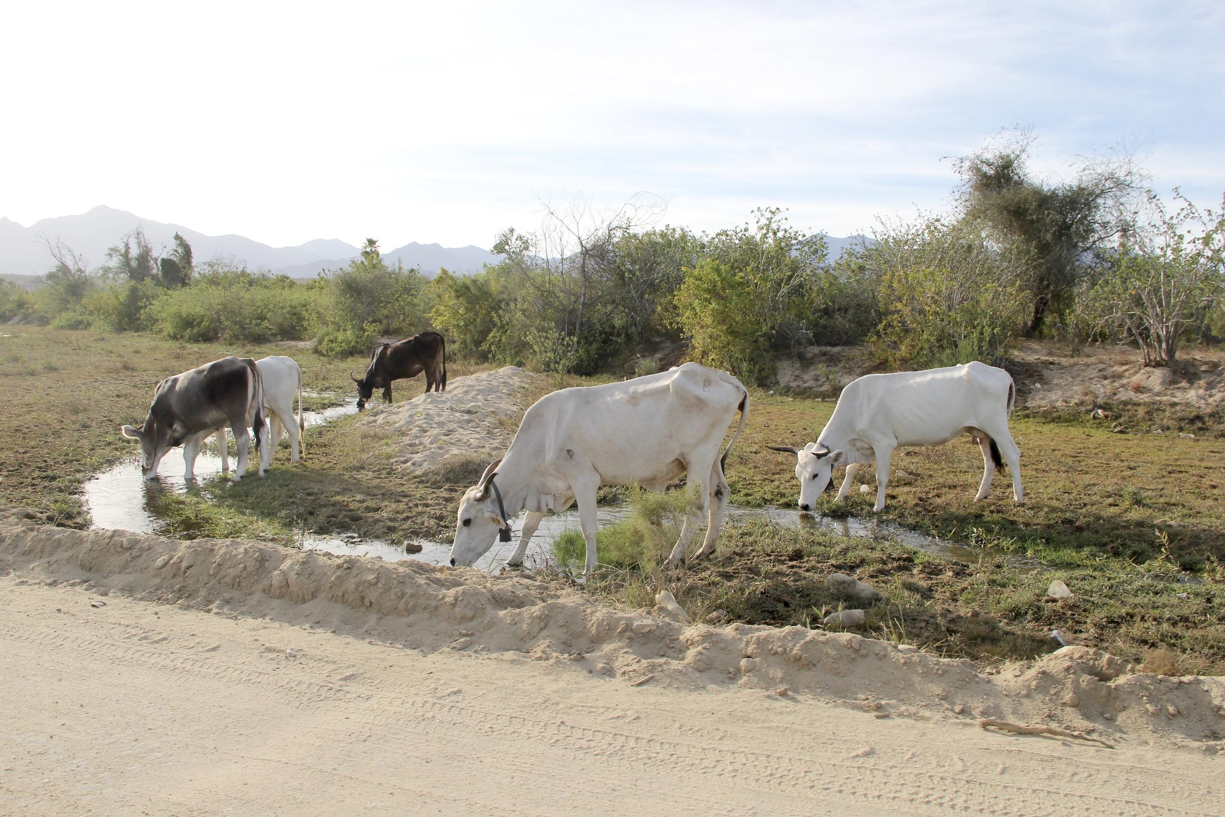Cows | Baja California Sur