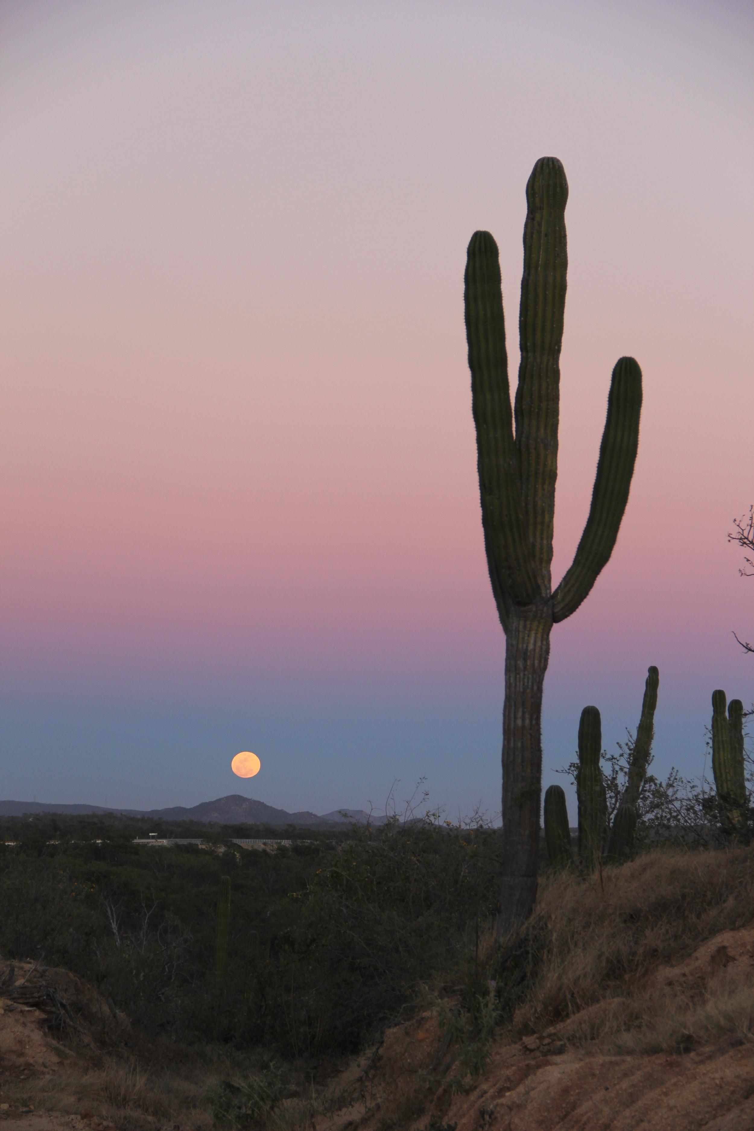 cardon cactus in baja california sur