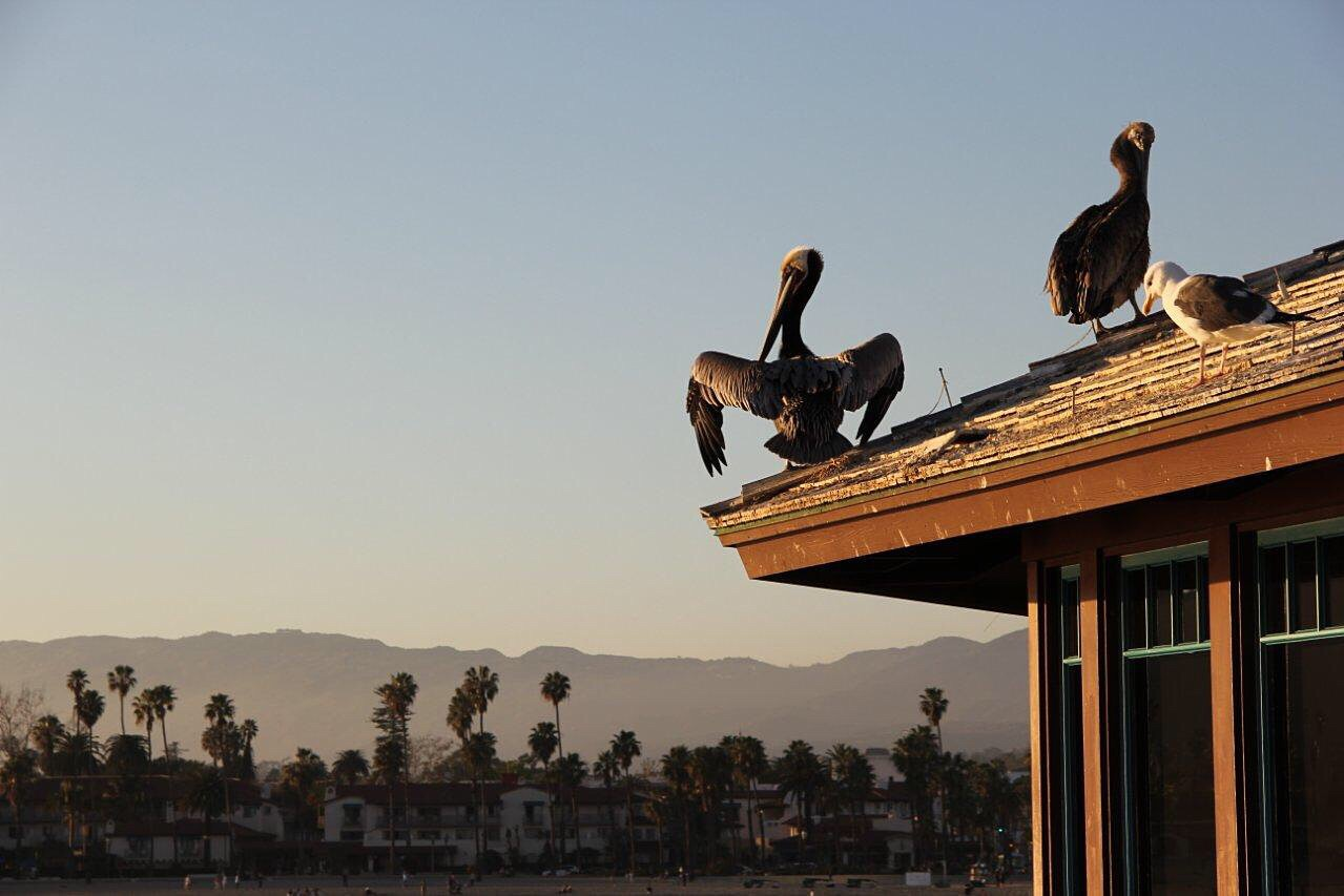 Pelicans on the Santa Barbara pier at dusk
