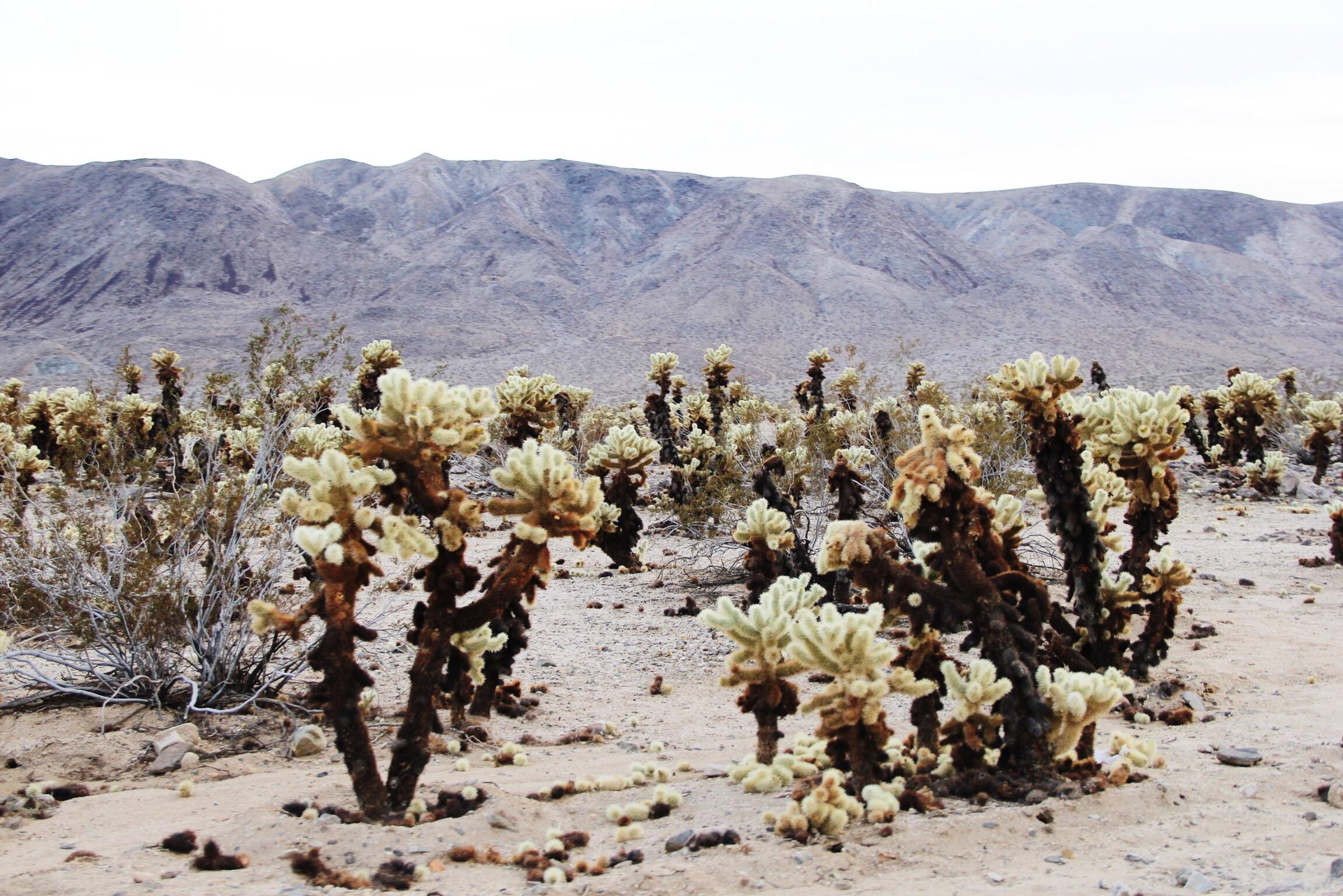 The Cholla Cactus Garden in Joshua Tree National Park
