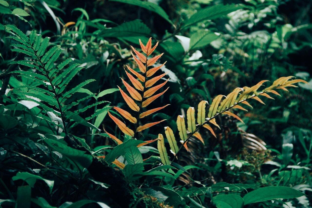 Costa Rican emerald green, marigold and rust colored fern foliage
