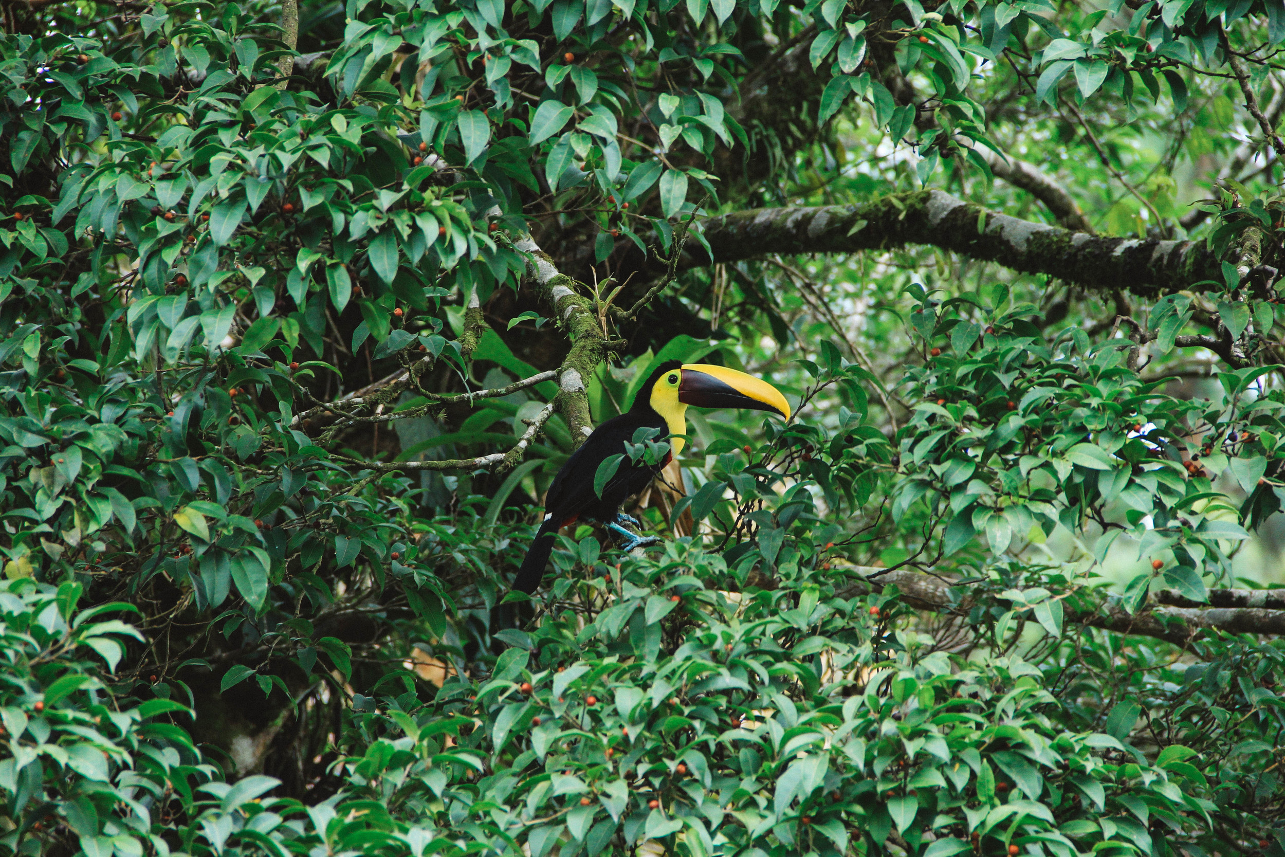 a toucan in the costa rican jungle