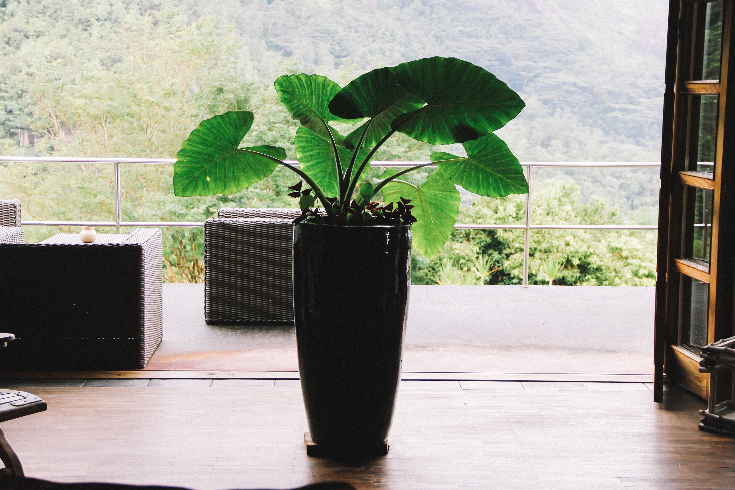 A happy house plant at Copolia Lodge in Mahe, Seychelles